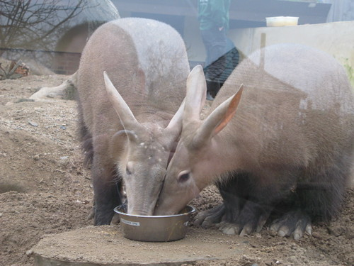 Aardvarks by Kradlum, on Flickr