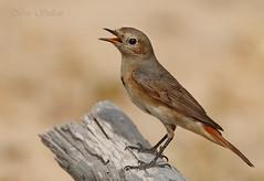 Redstart female    () Tags: bird female lens super bin sultan qatar redstart  potographers    wachers  superlens potographer        binsultan lesnafi