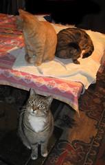 Amber, Paul and Beck, enjoying a heat lamp (Hairlover) Tags: pet cats pets public cat kitten kitty kittens kitties threeleggedcat allcatsnopeople 22yearoldcat