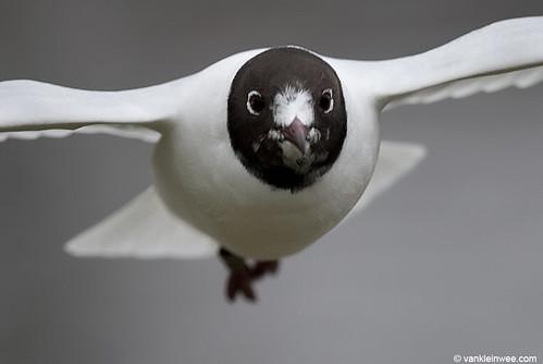Black-headed Gull, >3cy, W[E5RE]