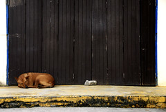 Thai Dog (Xavier Cloitre) Tags: sleeping dog chien dogs colors animals thailand photography nikon asia colours photographie couleurs bangkok colores perro asie d200 fotografia bkk thailande xaviercloitre