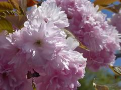 Pretty in Pink I (m_artijn) Tags: blossom season golden week niimi jpn pink tree flower depth field