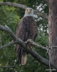 An American Bald Eagle looking deep into my soul! (flintframer) Tags: american bald eagle birds nature wildlife deam lake state park indiana wow dattilo canon eos 7d markii ef100400 14x