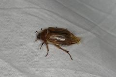 Amphimallon solstitiale (dhobern) Tags: 2017 coleoptera denmark europe july søborg scarabaeidae melolonthinae amphimallonsolstitiale