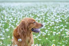 Flower Girl (Aaron Springer) Tags: meadow field flower dof dogs pets goldenretriever
