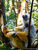 Diademed sifaka - Propithecus diadema (paulajie) Tags: andasibe madagascar propithecus diadema diademed sifaka simpona maromizaha reserve lemur nature wildlife animal photography olympus omd micro 43 fauna em10 mark ii