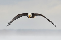 Happy 4th of July! (PeterBrannon) Tags: baldeagle bird canada eagle flight grandpré haliaeetusleucocephalus nature novascotia raptor wildlife wingspan winter wintereagle