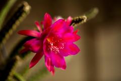 Cactus flower (frosol) Tags: canon eos 5dmarkiii 5dmkiii ef100mmf28lmacroisusm ef100mm makro macro flowers flower blomst cactus kaktus speedlite580exii speedlite nature natur