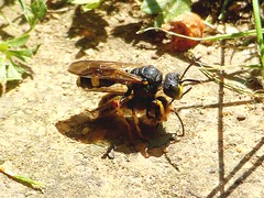 Wasp drags bee (Compy54) Tags: wespe biene insekten wasp bee insects natur nature
