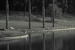 Quinta da Boa Vista (Johnny Photofucker) Tags: riodejaneiro rj quintadaboavista sãocristóvão lightroom brasil brazil brasile preto branco nero bianco black white pb bw parque parc parco garça heron garzetta pássaro bird passero uccello 24105mm