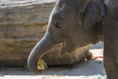 Elefant beim fressen (DeanB Photography) Tags: zoo hannover zoohannover tiere tier tierwelt tierpark gefährlich gorilla gorillaberg erlebniszoohannover elefanten ef100400l canon 7dmkii animal animals affen