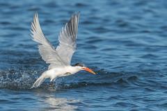 Jumping with a fish - Elegant Tern (FollowingNature (Yao Liu)) Tags: jumping fish eleganttern bolsachicaecologicalreserve luckyfish followingnature