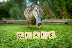 190/365 Quack ([inFocus]) Tags: letters tiles duckwords scrabblesunday scrabble canon project365 photoadat creative 1635mm 365 imagination wildlife