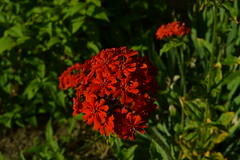 DSC_0010 (kabright68) Tags: flower garden maltesecross summer cherryville britishcolumbia red canada nature