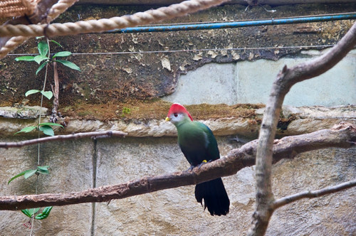 Red Crested Turaco at Amazon World