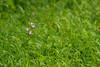 Red Helleborine in grass (Thomas Roland) Tags: orchid orkide orkidé gøgeurt orchis flora flower blomst botanical botanic wild closeup macro makro detail detalje green grøn nikon d7000 natur nature sjælland zealand denmark danmark spring june juni forår sommer summer allindelille fredsskov skov forest rød skovlilje cephalanthera rubra red helleborine