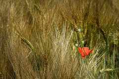 in the field (alexhaeusler) Tags: last red nature flower poppy field