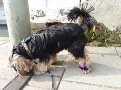 Flo Yorkie Poo Dog and Flower (@oakhamuk) Tags: flo yorkiepoo dog flower