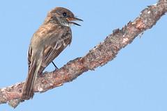 Eastern Phoebe (rhysmarsh) Tags: new lake birds hampshire phoebe eastern easternphoebe squam sayornisphoebe sayornis