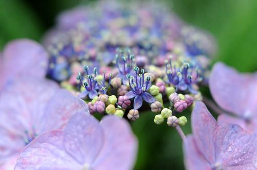 鎌倉・成就院の紫陽花