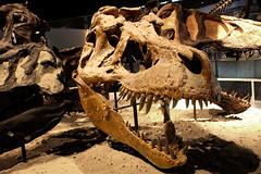 Tyrannosaurus - 12