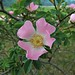 Photo: Dog-rose