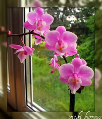 MY PHALENOPOSIS ORCHID.... (vicki127.) Tags: friends plant orchid pretty wonderfulworldofflowers phalenoposis vickiburrows