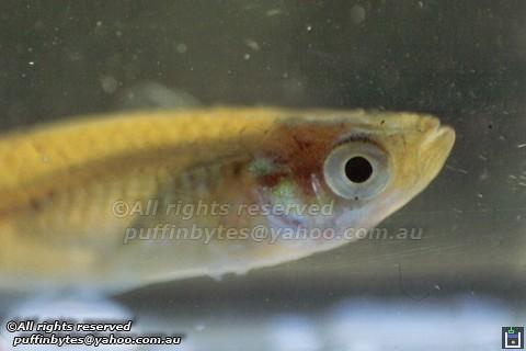 Eastern Mosquitofish - Gambusia holbrooki