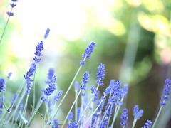 Ella Standage aged 10, took this pic (Kirstin Mckee) Tags: bokeh lavender snapitwithfeeling generalnaturetreesandwoods