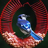 The Blue Jay Feeder Works! (DSF_5328) (masinka) Tags: new york blue red wild ny bird nature look dark circle spiral back buffalo jay background feather feeder upstate bluejay western circular