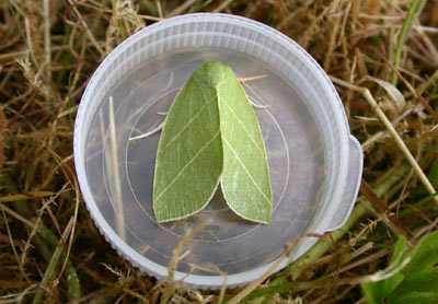 Scarce Silver-lines