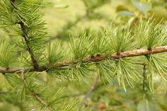 Tamarack tree (Andre Reno Sanborn) Tags: larixlaricina tamaracktree