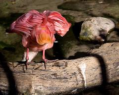 _MG_9645 (Mary Susan Smith) Tags: travel vacation bird tourism holidays shadows florida feathers disney frombehind superhero behind animalkingdom roseatespoonbill challengeyouwinner 3waychallengewinner cychallengewinner achallengeforyou herowinner storybookwinner bbqatgrandmas