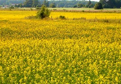 The yellow land (Nin) Tags: summer nature landscape sweden country