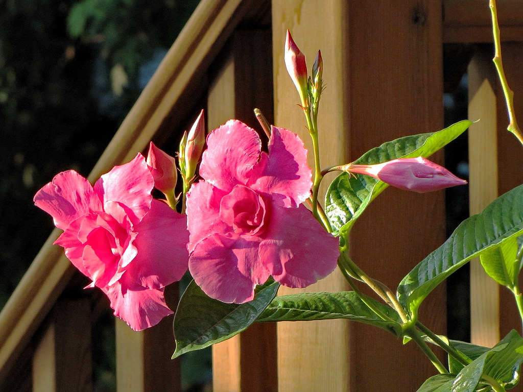 The Worlds Best Photos Of Mandevilla And Plant Flickr Hive Mind