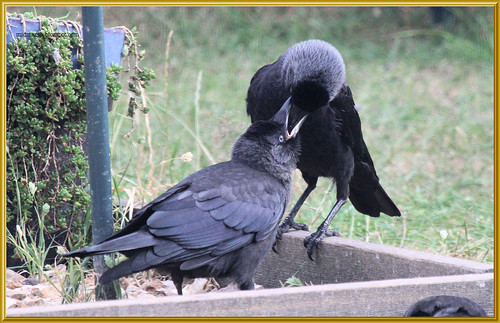 Jackdaw Feeding Young 2