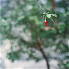 cherries - kyiv (chirgy) Tags: red brown white tree green leaves fruit fuji ukraine hanging expired kiev kyiv 160asa darkslide maybenot autaut bokehagogo kaleinar salyuts kaleinar150mmf28 repairedlightleak isthissomesubconcioustributetotheworksofspeilbergandlucas fotolavra