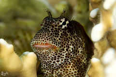 Sexy Eyelashes (Lea's UW Photography) Tags: underwater redsea fins unterwasser canon100mm canon7d exalliasbrevis leamoser leopardenlippenzähner