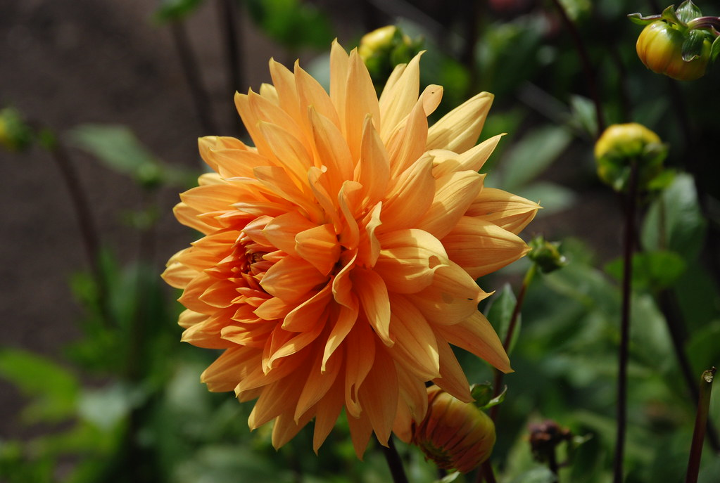 orange dahlia at esalen