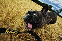 I AM Nikon (Vincent.RCT Photographies) Tags: valognes basse normandie france normandy dog dogs bouledog douldog français francais french black am nikon d70s tamron 1024 cheenookpromenadesolene bassenormandie iamnikon photography haaghungmailcom cheenoock photographies haaghun nikond70s