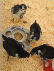 (jimheid) Tags: chickens chicks australorp