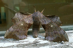 "Poplar Hawkmoth (Laothoe populi) • <a style=""font-size:0.8em;"" href=""http://www.flickr.com/photos/57024565@N00/4768244036/"" target=""_blank"">View on Flickr</a>"