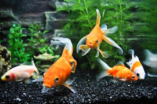 planted goldfish tank. Goldfish Tank