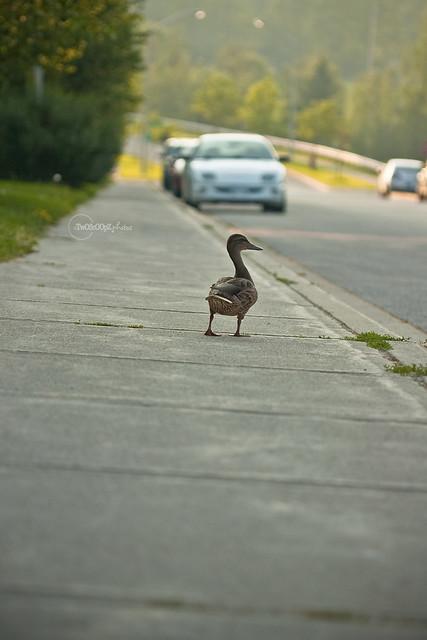 quack! day 187 (5)