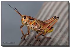 IMG_5654 (ivan_richman) Tags: florida cricket grasshopper betterbeamer ochopee sharkvalley lubber ef28300mmf3556lisusm canon5dmarkii ivanrichman canonspeedlite580esii bigcypressnatioinalpreserve