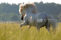 Morning Workout (Birgit Zimmermann) Tags: white stallion canter icelandichorse runningfree