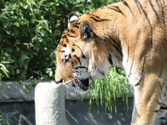 thinking tiger (Choco Bebs) Tags: animal zoo tiger felino