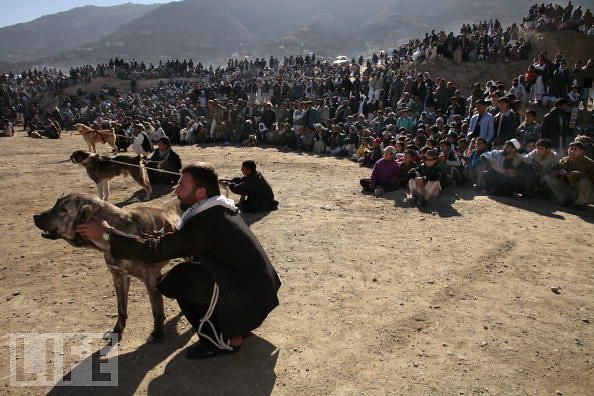 afghan dog fighting crowds