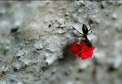 busy ant (marbleplaty) Tags: macro nikon philippines july bicol crappy assorted 2010 daraga legazpi albay gamewinner d80 matchpointwinner asplashofcolour marbleplaty thechallengefactory paoloarroyo herowinner
