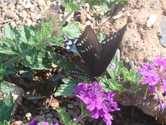 big black butterfly, again
